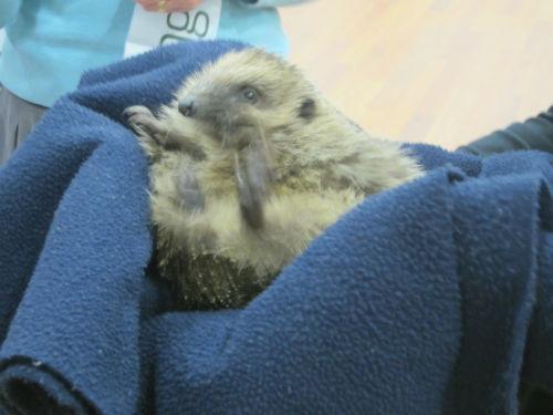Hedgehog rescue (2)-w500-h500