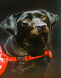 Medical Detection Dogs - Black dog