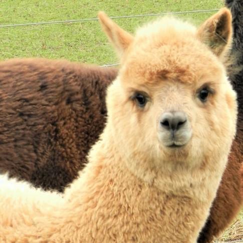 charnwood alpaca