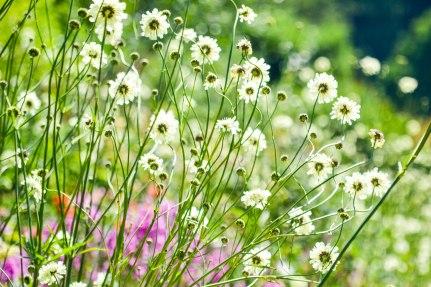 Kelmarsh - 03-07-2018 - white flowers