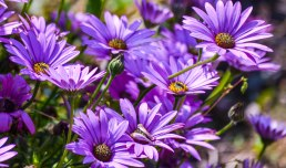 June in bloom - purple daisy flowers