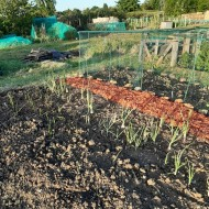 Cage and Onion sets Allotment May 2020